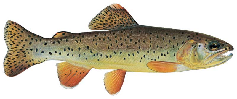 WNTI Apache Trout Photo Art
